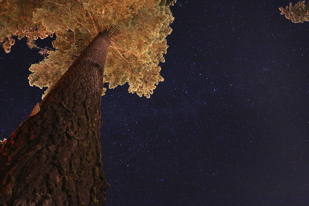 Starry skies and a giant sequoia tree in the foreground looking up the trunk to the golden leaves lit up