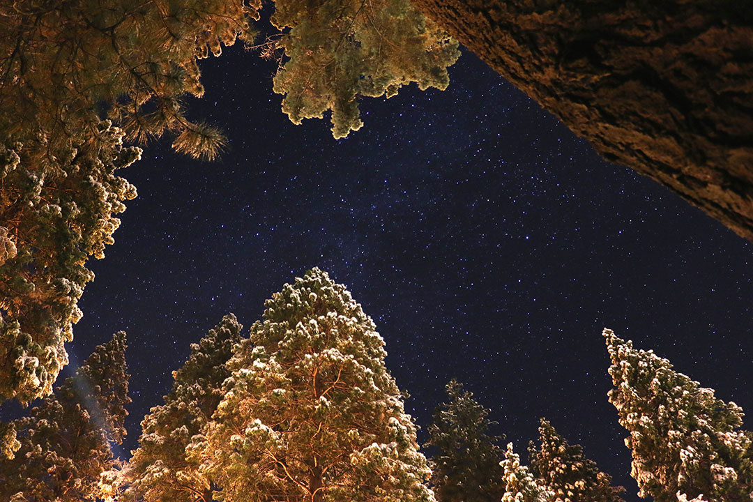 The starry night sky in Yosemite National park with giant sequoia trees and their golden leaves lit up