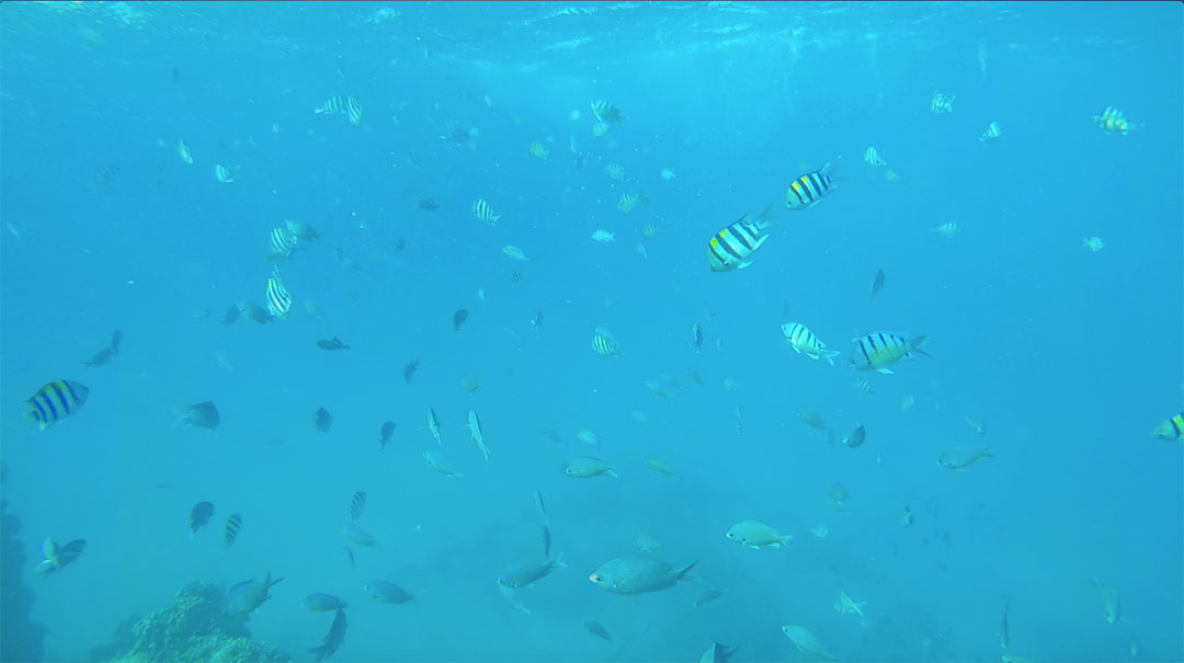 Colourful fish swimming in the beautiful blue ocean waters of Hawaii