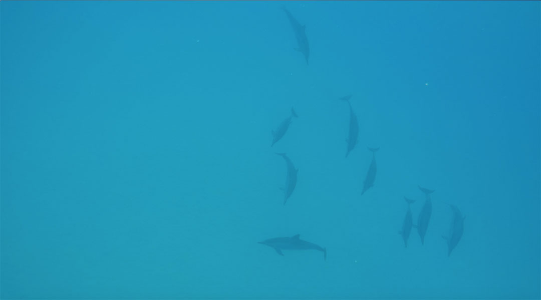 A pod of wild dolphins swims in the ocean just ahead of us while snorkelling