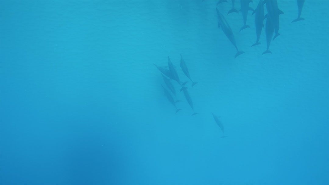 Pod of wild dolphins under water just ahead of us