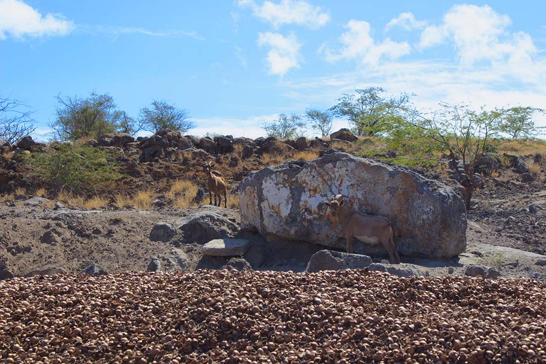 Wild goats at Hamakua Macadamia Nut Farm standing beside giant rocks on top of thousands of discarded macadamia nut shells