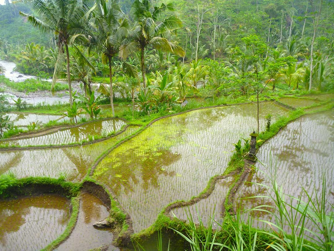 Beautiful green rice paddy fields that you walk through to get to the white water rafting areas in Bali