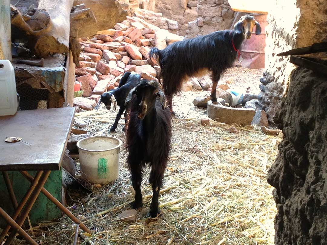Family goats standin the hay outside in a Nubian Village home in Egypt