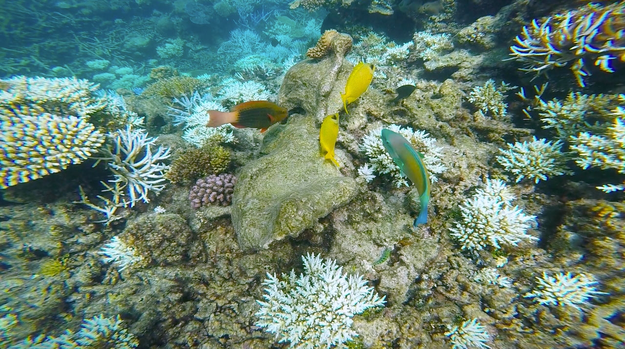 Red, yellow and blue fish swim among the coral of the Great Barrier Reef