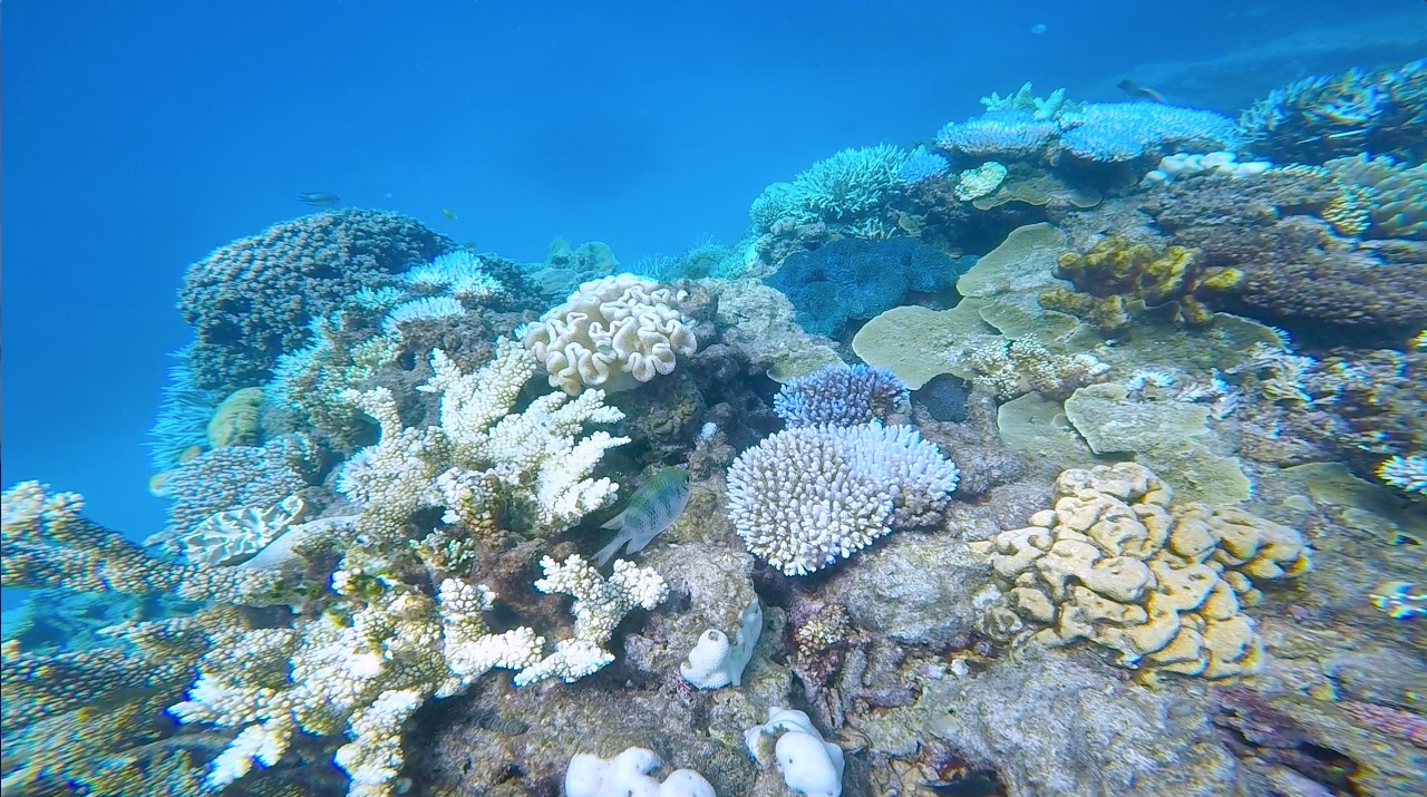 Multicoloured coral underwater at the Great Barrier Reef