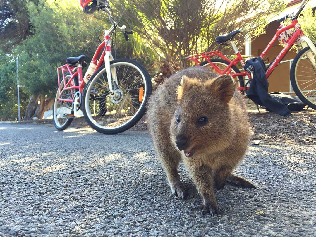 Quokka Smiling in front of bikes on Rottnest Island