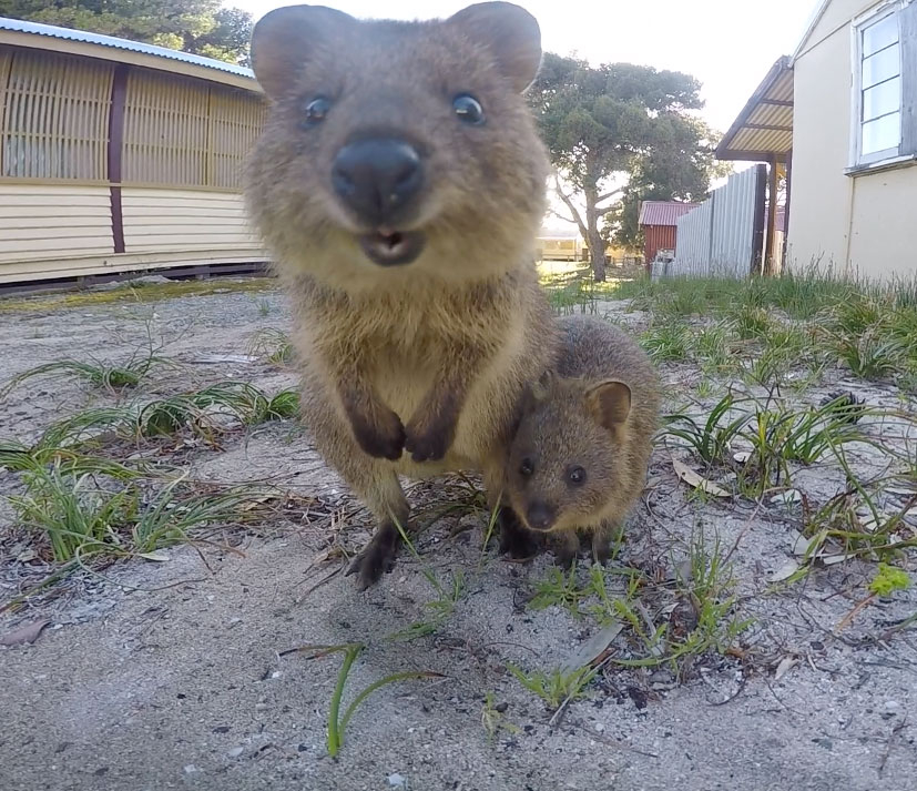 Quokka with her beautiful baby on Rottnest Island