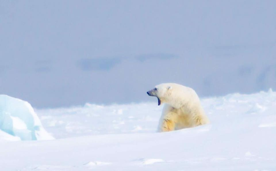Polar Bear in the Arctic in Svalbard